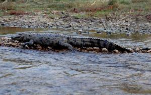 croc-mugur