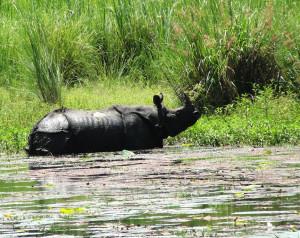 rhino-lami