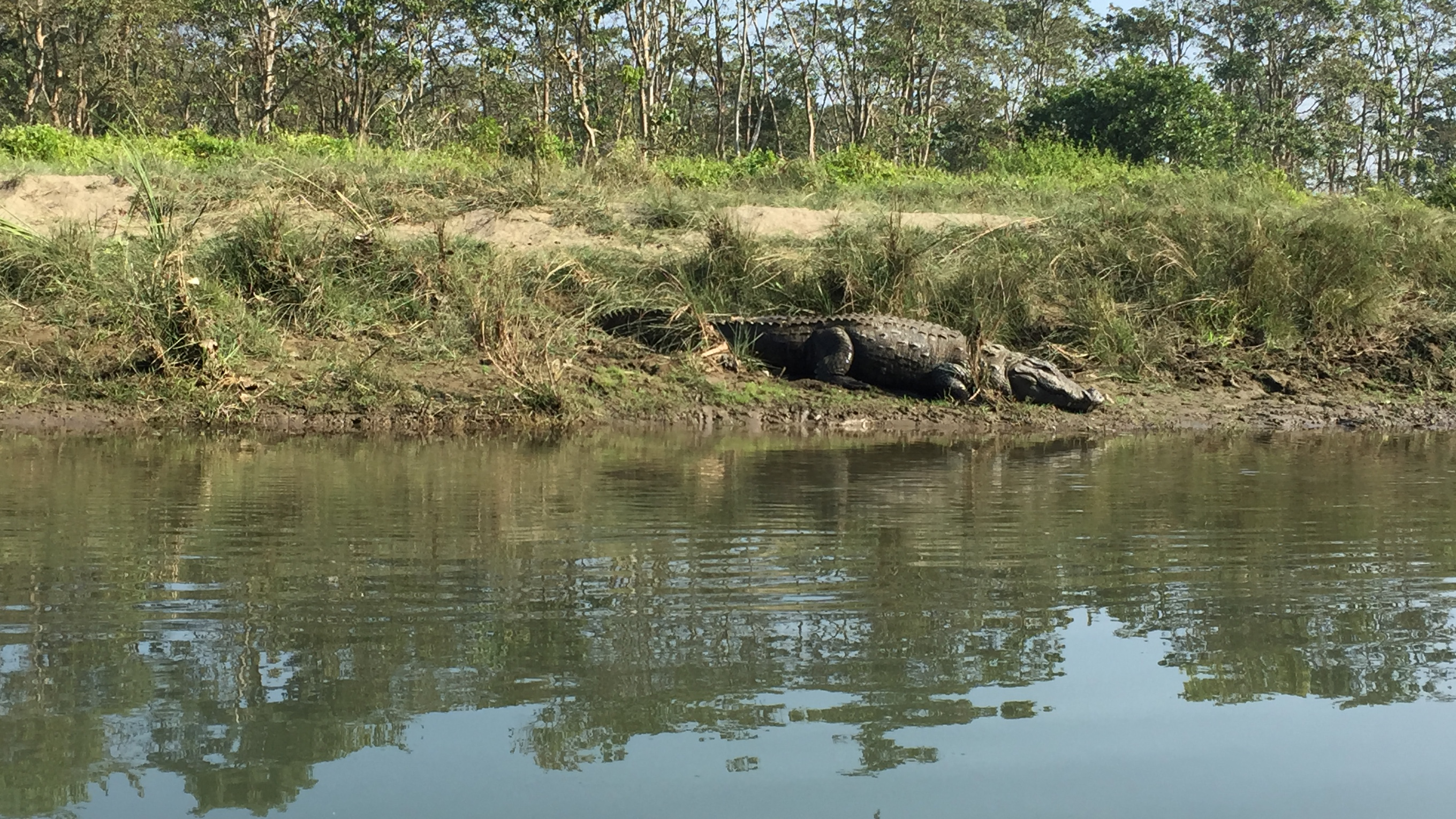 Corcodile during canoeing